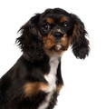 close-up of a Cavalier King Charles Spaniel puppy (4 months old), isolated on white - PhotoDune Item for Sale
