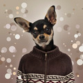 Chihuahua wearing a sweater, spotted background - PhotoDune Item for Sale