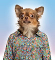 Chihuahua wearing a spotted shirt, colored background - PhotoDune Item for Sale