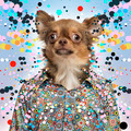 Chihuahua wearing a spotted shirt, spotted background - PhotoDune Item for Sale
