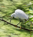 Snowy Egret - PhotoDune Item for Sale
