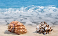 Conch shells  - PhotoDune Item for Sale