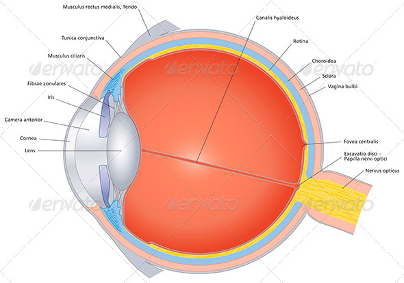 GraphicRiver Structures Of The Human Eye Labeled 7475470