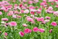 Field of bellis with selective focus - PhotoDune Item for Sale
