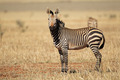 Hartmanns Mountain Zebra - PhotoDune Item for Sale