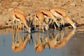 Springbok antelopes at waterhole - PhotoDune Item for Sale