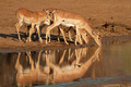 Impala antelopes drinking - PhotoDune Item for Sale