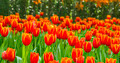tulips flower field - PhotoDune Item for Sale