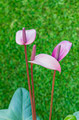 violet Anthurium flower in botanic garden - PhotoDune Item for Sale