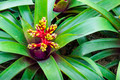 Red and yellow blooming bromeliad flower - PhotoDune Item for Sale