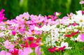 cosmos flowers - PhotoDune Item for Sale