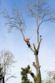 An arborist cutting a tree with a chainsaw - PhotoDune Item for Sale