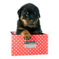 puppy rottweiler - PhotoDune Item for Sale