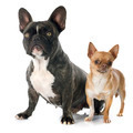 french bulldog and chihuahua - PhotoDune Item for Sale