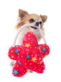 chihuahua and toy - PhotoDune Item for Sale