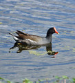 Common Moorhen Bird - PhotoDune Item for Sale
