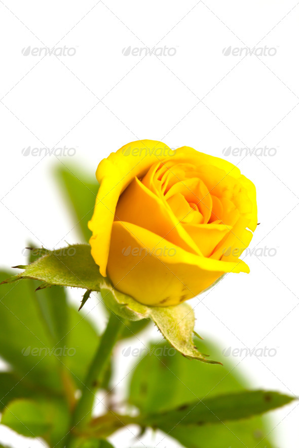 Yellow Rose Flowers White Background Beautiful Flower Roseyellow