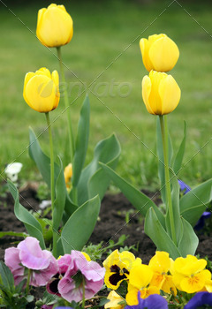 four yellow tulip flower spring season - PhotoDune Item for Sale