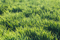 Background of fresh spring green grass - PhotoDune Item for Sale