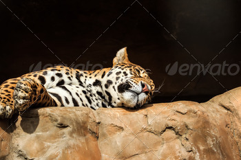 Closeup portrait of jaguar or Panthera onca - PhotoDune Item for Sale