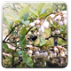 Blueberry Blossoms - VideoHive Item for Sale