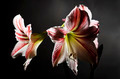 blooming amaryllis on a dark background - PhotoDune Item for Sale