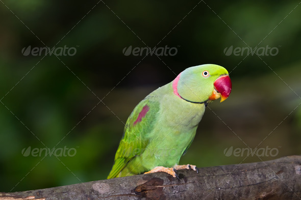 Green Parrot For Sale Green Parrot Bird Stock