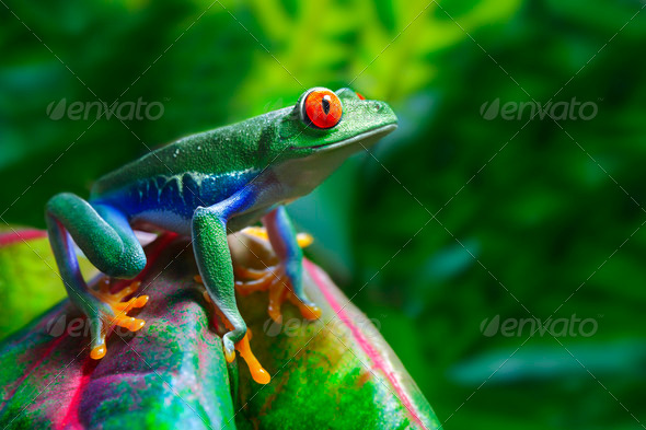 PhotoDune Red Eyed Tree Frog 775355