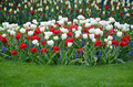 Red and white tulips - PhotoDune Item for Sale