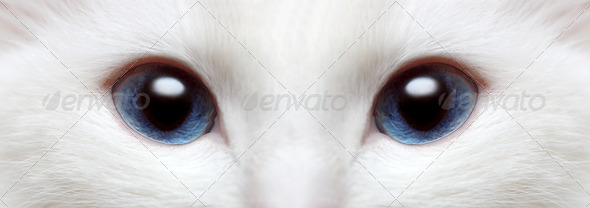white cat&#x27;s blue eyes - Stock Photo - Images