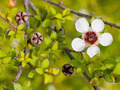 Detail of manuka flower - PhotoDune Item for Sale