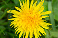 Dandelion flower - PhotoDune Item for Sale