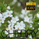 Spring Flowering Cherry 2 - VideoHive Item for Sale