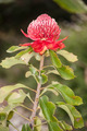 Waratah - Australian Native Flower - PhotoDune Item for Sale