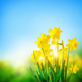 Daffodils Flowers In Spring - PhotoDune Item for Sale