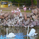 Flamingos - VideoHive Item for Sale