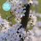 Blackthorn in Bloom - VideoHive Item for Sale