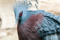 Exotic Bird (Goura Victoria) - PhotoDune Item for Sale