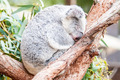 adorable koala bear taking a nap sleeping on a tree - PhotoDune Item for Sale