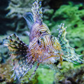 poisonous exotic zebra striped lion fish - PhotoDune Item for Sale