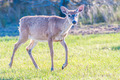 white tail deer bambi in the wild - PhotoDune Item for Sale