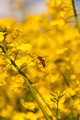 Honey Bee Pollinates Canola - PhotoDune Item for Sale