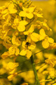 Ebrechtella Tricuspidata with his Victim in Flowers Canola - PhotoDune Item for Sale