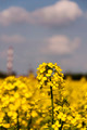 Flowering Canola (Brassica napus L. subsp. Napus) - PhotoDune Item for Sale
