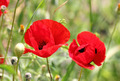 red poppy flowers in field - PhotoDune Item for Sale