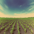 corn field - vintage retro style - PhotoDune Item for Sale