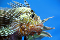 lionfish zebrafish underwater - PhotoDune Item for Sale