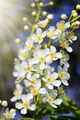 blossom bird cherry tree flowers - PhotoDune Item for Sale