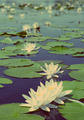lake with water-lily flowers - vintage retro style - PhotoDune Item for Sale