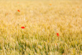 poppies in a field of wheat - PhotoDune Item for Sale